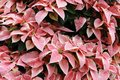 Pink Poinsettia Background Stock Photography