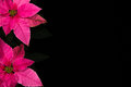 Pink Poinsettia Isolated Black Royalty Free Stock Photo