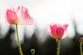 Pink poppy flower Stock Images