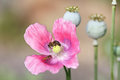 Pink Poppy Flower And Capsules...
