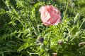 Pink poppy flower closeup Royalty Free Stock Photo