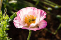 Pink poppy flower at doi angkang chiangmai thailand Stock Images