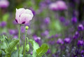 Pink poppy flower with lavender in the background Royalty Free Stock Photos