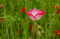 Pink poppy with green field how background.