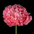 Pink poppy isolated detail double flower Royalty Free Stock Photos