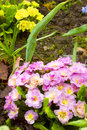 Pink primroses primula in the garden after the rain cloudy day spring flowers in the garden adobe rgb dff image Royalty Free Stock Photos