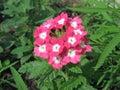 Pink primula auricula Royalty Free Stock Photo