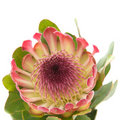 Pink protea Stock Photo