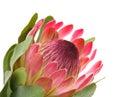 Pink protea Royalty Free Stock Photo