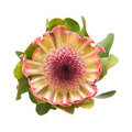 Pink protea Royalty Free Stock Photos