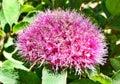 Pink Fuzz Royalty Free Stock Photo