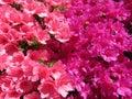 Pink and Purple Azalea Blossoms Royalty Free Stock Photo