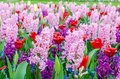 Pink and purple flowering hyacinth bulbs in the garden of Keukenhof, Netherlands. Royalty Free Stock Photo