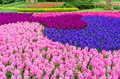 Pink and purple flowering hyacinth bulbs in the garden of Keukenhof, Netherlands Royalty Free Stock Photo