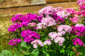 Pink and purple flowers summers nature background Royalty Free Stock Photo