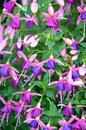 Pink and purple fuschia flowers beautiful in bloom Royalty Free Stock Photo