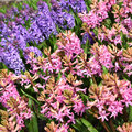 Pink and purple hyacinth Royalty Free Stock Photo