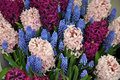 Pink and purple hyacinth garden Royalty Free Stock Photo