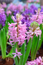 Pink and purple hyacinthus Royalty Free Stock Photos