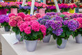 Pink and purple Hydrangea hortensia flowers in pots, Keukenhof Park, Lisse, Holland Royalty Free Stock Photo