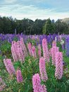 Pink and purple lupine flower field Royalty Free Stock Photo