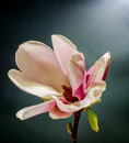 Pink, purple magnolia branch flower, close up, , gradient background