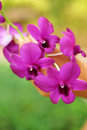 Pink purple orchid flower in nature Stock Images