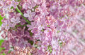 Pink purple syringa vulgaris lilac or common lilac family o oleaceae close up white background Royalty Free Stock Photography