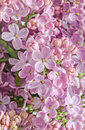Pink purple syringa vulgaris lilac or common lilac family o oleaceae close up white background Royalty Free Stock Photo