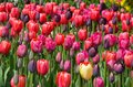 Pink and purple tulips Stock Images