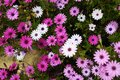 Pink, purple and white daisies Royalty Free Stock Photo