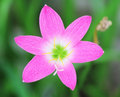 Pink rain lily flower on a sunny spring day Royalty Free Stock Photos