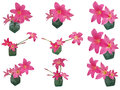 Pink Rain Lily Zephyranthes set isolated