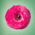 Pink ranunculus flower on a faint green background one Royalty Free Stock Image