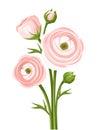 Pink Ranunculus Flowers. Vecto...