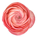 Pink ranunculus isolated on white. Flower head