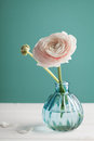 Pink ranunculus in vase against turquoise background, beautiful spring flower Royalty Free Stock Photo