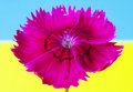 Pink red flower bright cut on blue and yellow background ukrainian flag Royalty Free Stock Photography