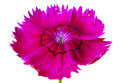 Pink red flower a bright cut on white background Stock Images