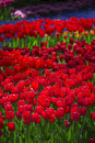 Pink, Red And Orange Tulip