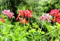 Pink and red Pelargonium with rain drops Royalty Free Stock Photo