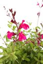 Pink or Red Salvia Stock Photography