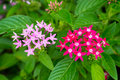 Pink red star cluster flowers closeup Royalty Free Stock Image
