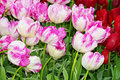 Pink and red tulips buds in the spring garden Stock Images