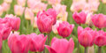 Pink and red tulips Royalty Free Stock Photo