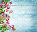 Pink and red tulips on a wooden background. Royalty Free Stock Photo