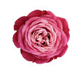 Pink-red-white rose flower. white isolated background with clipping path. Nature. Closeup no shadows. Royalty Free Stock Photo
