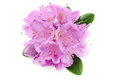 Pink Rhododendron flower on white background Royalty Free Stock Photo