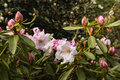 Pink rhododendron flowers and buds Royalty Free Stock Photo