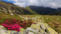 Pink rhododendron flowers in high mountains Stock Images